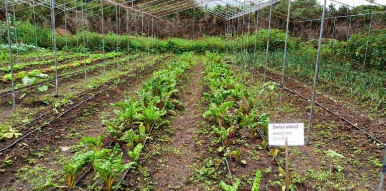 Organic swiss chard production in the school garden